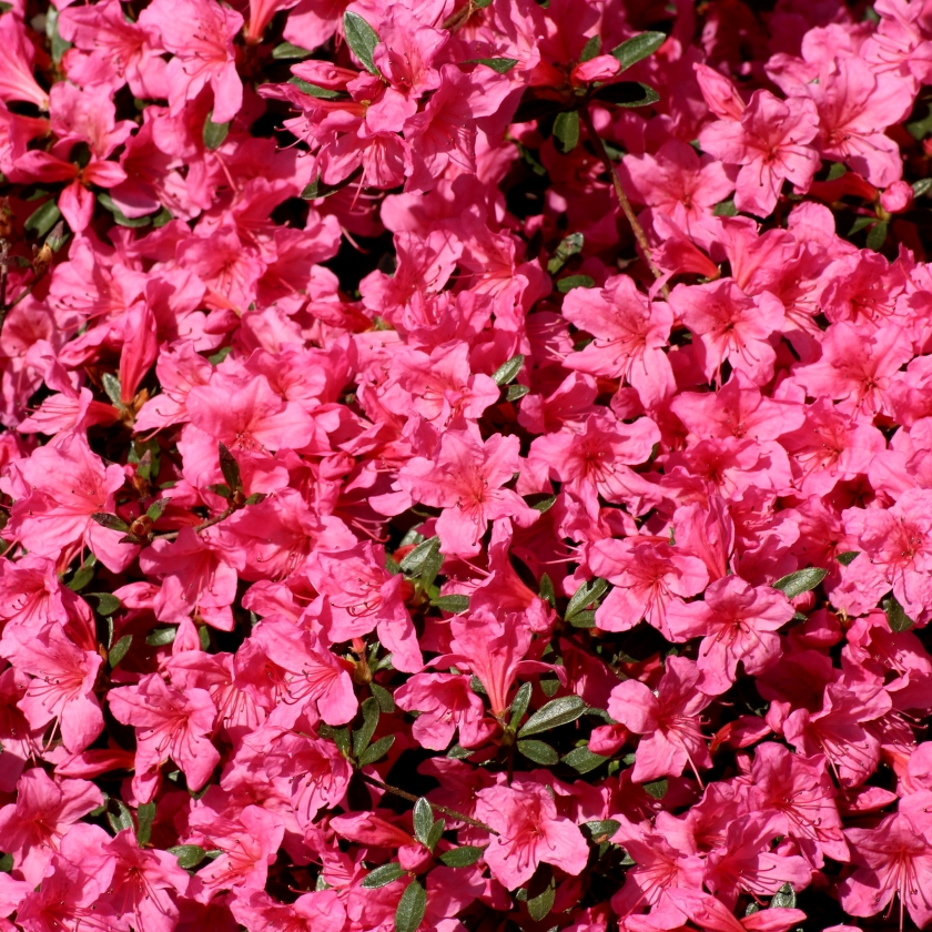 11-azalea-passionaggression-flower