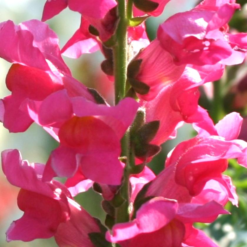 3-snapdragons-boldbrave-flower