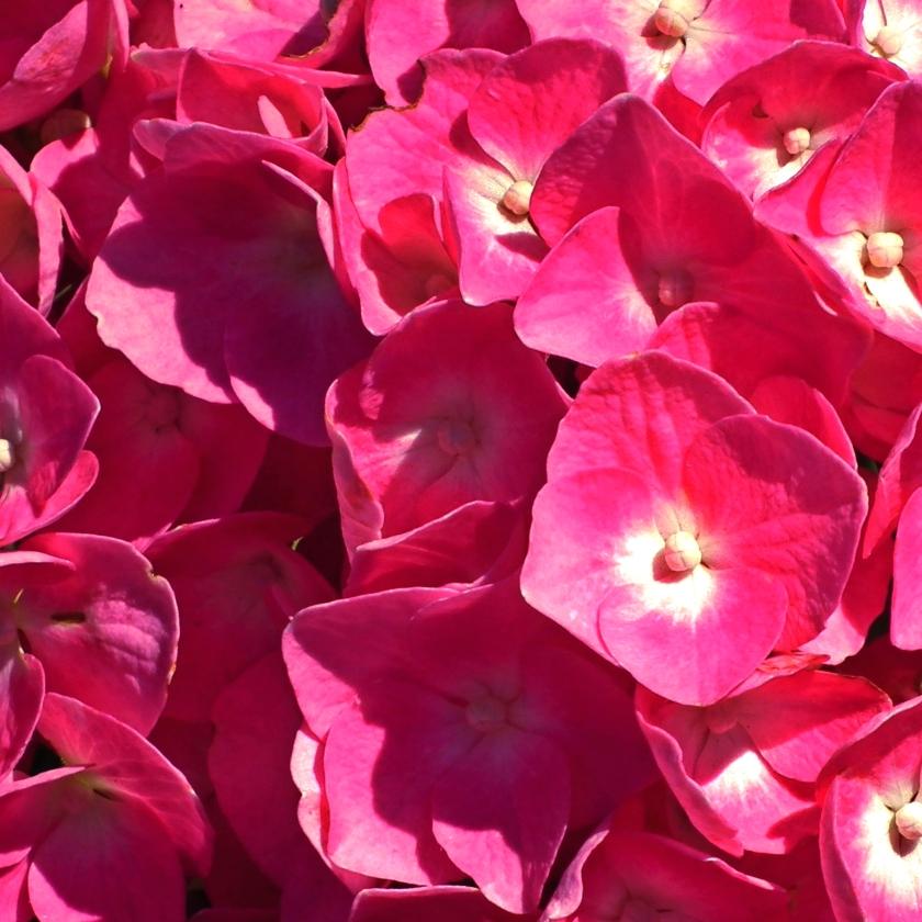 4-hydrangea-constantchatter-flower