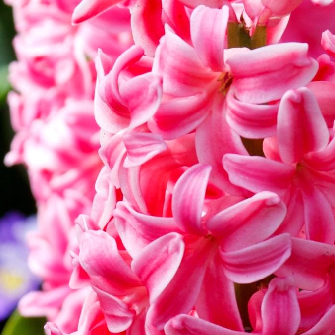 8-hyacinth-noisykisser-flower